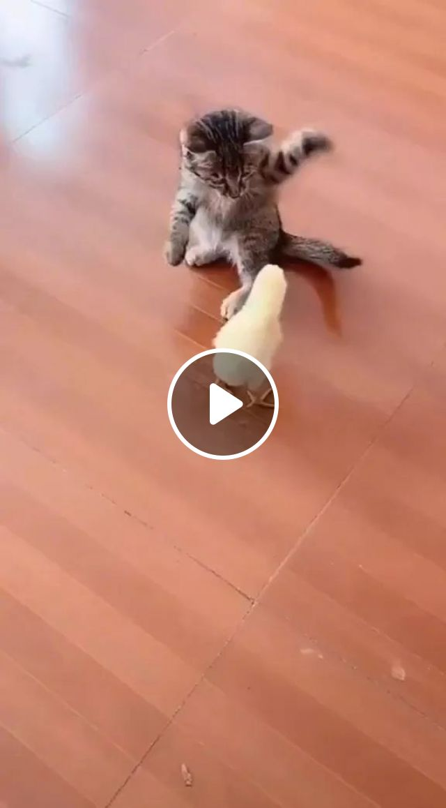Kitten Playing With Chicks On A Wooden Floor - Video & GIFs   cute kittens, cat breeds, friendly chicks, wooden floors