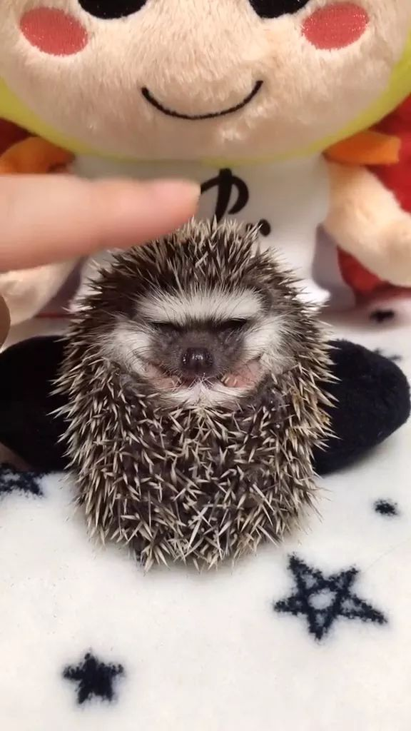 Baby porcupines are very cute and friendly
