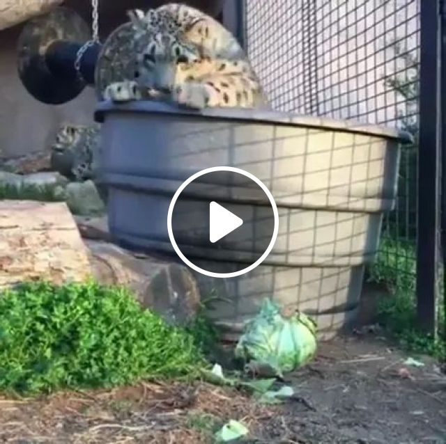 Snow leopard stalks its mightiest foe: cabbage, funny animals, take care of animals, animal toys