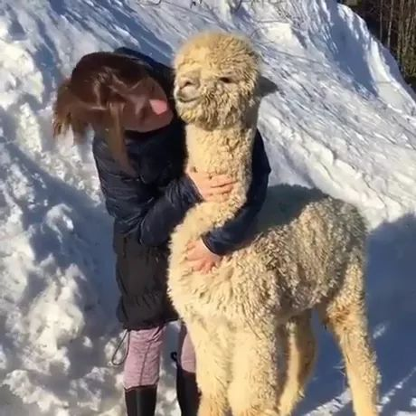 Alpaca is very happy to be taken care of by girl