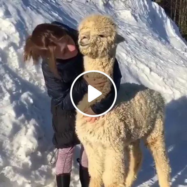 Alpaca Is Very Happy To Be Taken Care Of By Girl - Video & GIFs   alpaca cute, cute girls, take care of animals, winter clothes