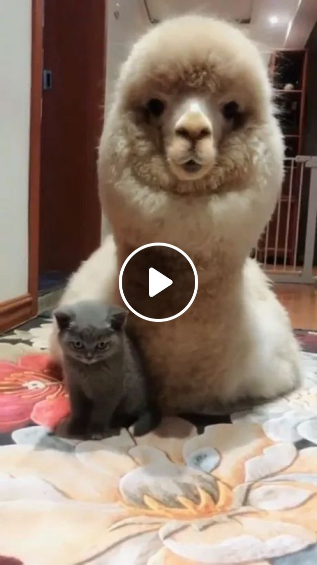 We Are Brothers, Cat Said - Video & GIFs | black cat, cute camel, friendly animals, luxury apartments, soft mattresses