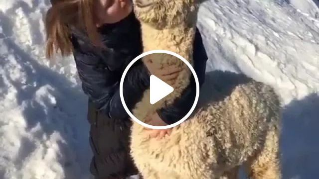 Norway Travel, The World's Most Relaxed Alpaca Hallingdal - Video & GIFs   reddit, damnthatsinteresting, the_worlds_most_relaxed_alpaca_hallingdal_norway