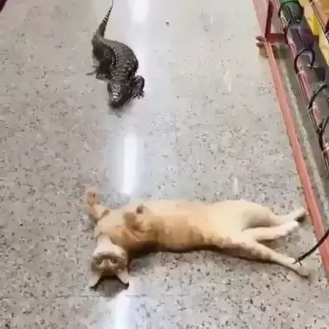 crocodile just wants to be friends with cat - Video & GIFs   friendly crocodiles,yellow cats,cat breeds,cute animals