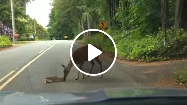 This Little Baby Deer Got So Scared Crossing The Road From Seeing The Car Approaching, It Dropped Down In The Middle Of The Road And Wouldn't Move. After Stopping And Turning The Car Off To Help Them Calm Down, The Mama Deer Cautiously Came To The Rescue. - Video & GIFs | reddit, aww, this_little_baby_deer_got_so_scared_crossing_the