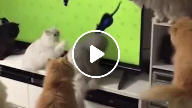 Entertainment For Cats With TV - Video & GIFs | wide screen televisions, funny animals, cat breeds, living room furniture