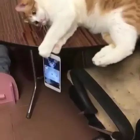 cat helps girl to keep her smartphone from falling in living room