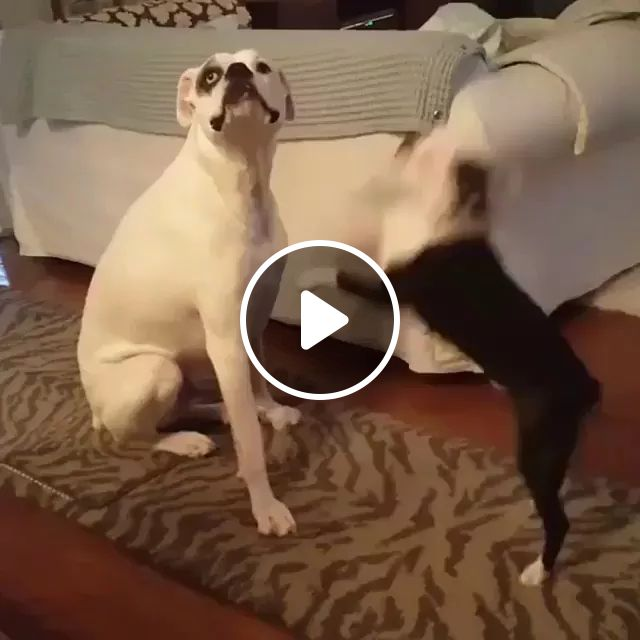 In Living Room, Dog Doesn't Care About Puppy - Video & GIFs   living room, high-end sofa, wooden floor, carpet, dog, puppy