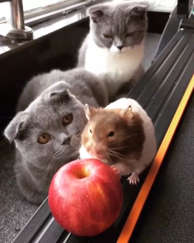 Two cats are sitting on the carpet watching mice eat apple - Video & GIFs | cat,adorable, sitting, carpet, watching, mouse, eating, apple, friendly, pet
