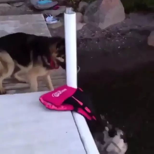 Dog saves puppy from lake - Video & GIFs | dog, hero, rescue, puppy, lake