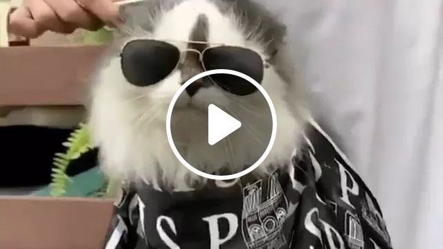 Cat Gets Hair Care In A Professional Hairdresser - Video & GIFs | animals, pets, cats, cat breeds, pet care, professional hair salons, hairdressing tools