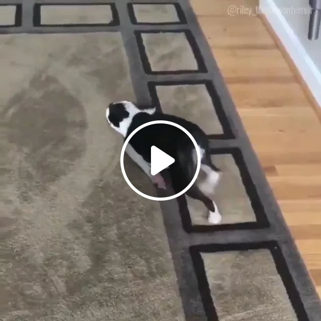 My Dog Became A Shark When I Bought New Carpet - Video & GIFs | chó, dog