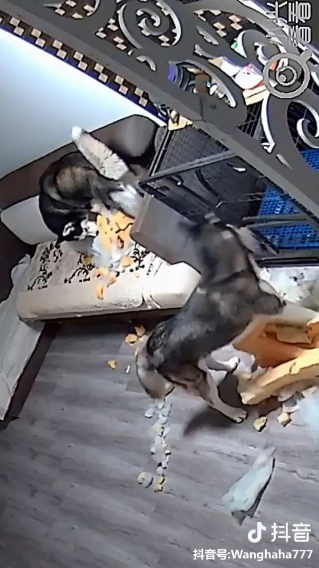 Camera records scenes of two dogs biting objects in house.
