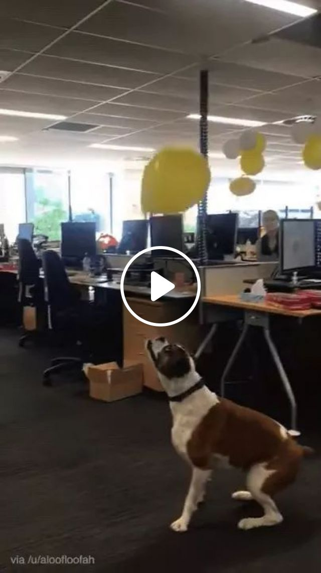 In office, dog plays with balloon, office, computer, desk, software company, ergonomic chair, staff, dog, play, balloons,