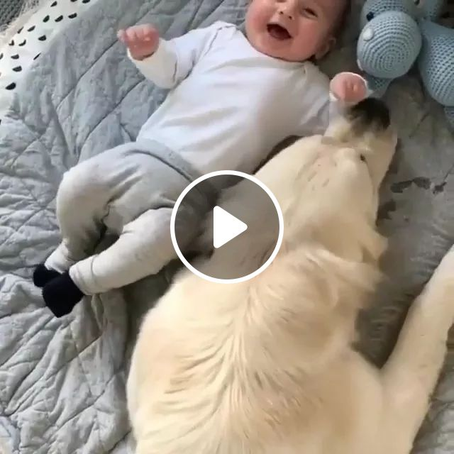 Golden Retriever Dog And Baby Playing On The Mattress Look Very Happy - Video & GIFs   Golden retriever dog, baby, fashionable baby clothes, playing, high-class mattress, looks very happy