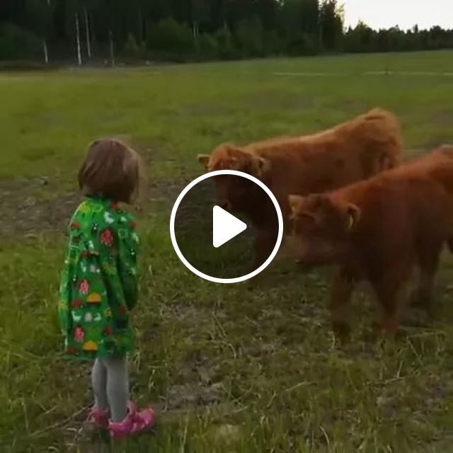 Child And Two Calves Are Friendly - Video & GIFs   kid, child fashion, calf, friendly