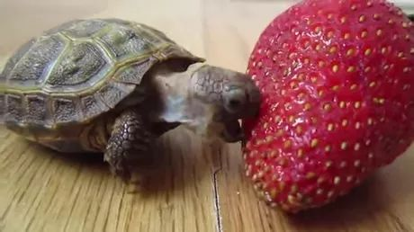 on the wooden floor baby turtle is trying to eat strawberry - Video & GIFs | wooden floor, baby turtle, pet, adorable, trying, eating strawberry
