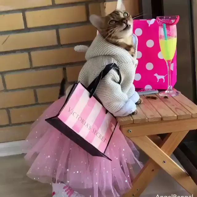 cat with a beautiful dress in apartment - Video & GIFs | Animals, Pets, cats, cat breeds, very beautiful dresses, apartments