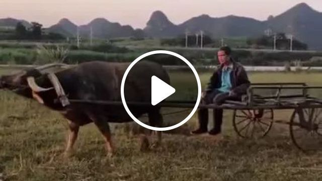 Buffalo Is A Good Friend For Human - Video & GIFs | Smart animals, farmers, rice fields, agriculture