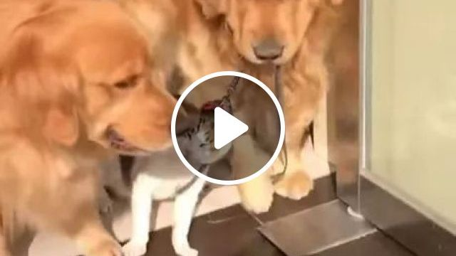 Two Golden Retriever Dogs Want Cat To Be Out In Sun - Video & GIFs | golden retriever, wanted, cat, out in the sun, friendly