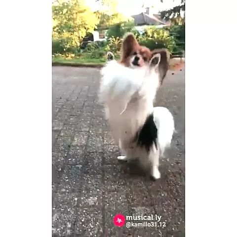 dog can dance with two legs