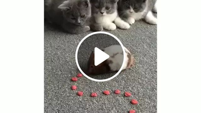 In Room Cats Play Together With Mouse - Video & GIFs | rooms, luxurious furniture, cats, together playing, mice
