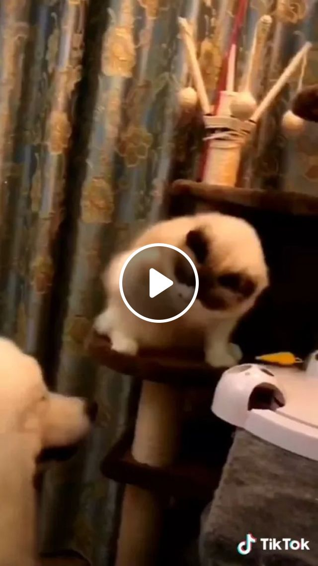 Cat Is Playing Toys For Pets And Do Not Want Dogs To Play Together - Video & GIFs | Cats, playing, pet toys, dogs, together