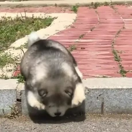 Short-legged puppies cannot overcome obstacles