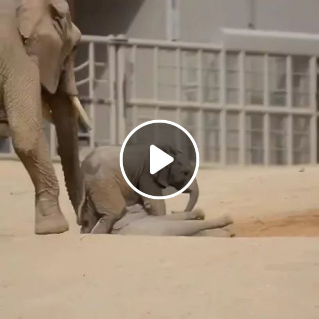 Elephants Are Playing In Sand - Video & GIFs | elephants, playing, sand, zoo, adorable