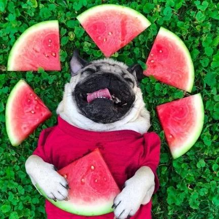 Lovely dog with pieces of watermelon