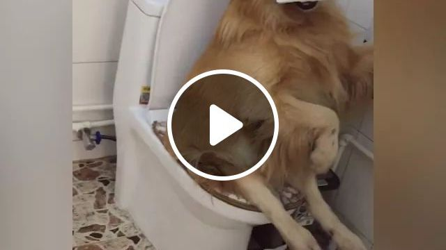 Smart Dogs Can Go To Toilet - Video & GIFs | smart dog, toilet, high-class toilet, luxury toilet, toilet paper