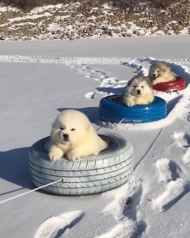 dogs sitting in wheels pulled on the snow looked very lovely