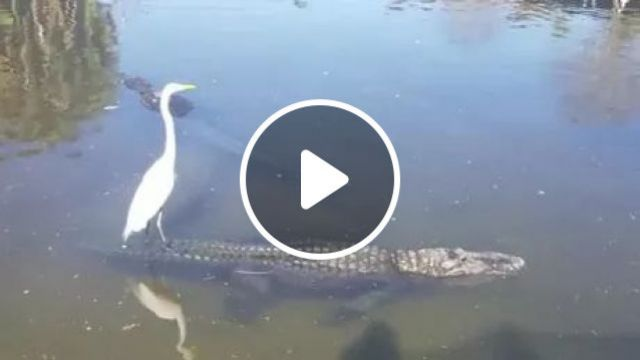Don't Mind Me I'm Just Surfing A Crocodile - Video & GIFs | brid, surfing, crocodile, river, nature