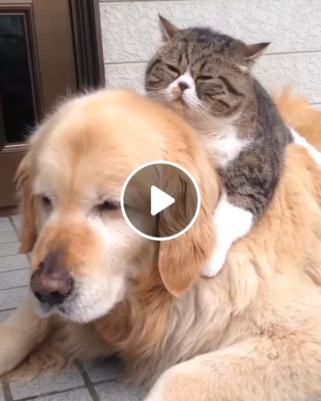 Cat And Golden Retriever Dog Are Good Friends - Video & GIFs | Friendly cats, golden retriever dogs, good friends, friendly animals, pets