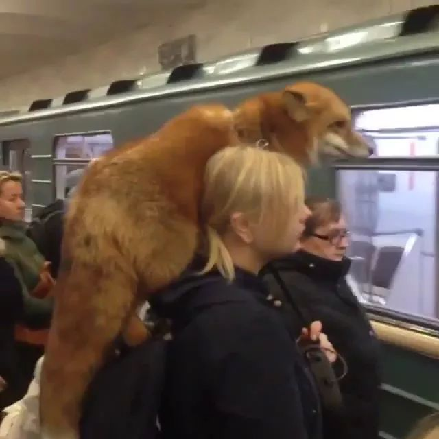 Fox and girl travel to United States by subway