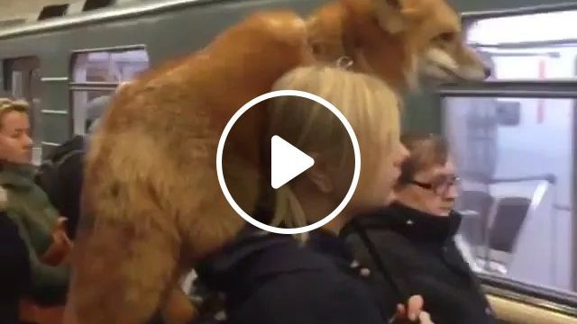 Fox And Girl Travel To United States By Subway - Video & GIFs   Cute fox, smart girl, United States travel, subway