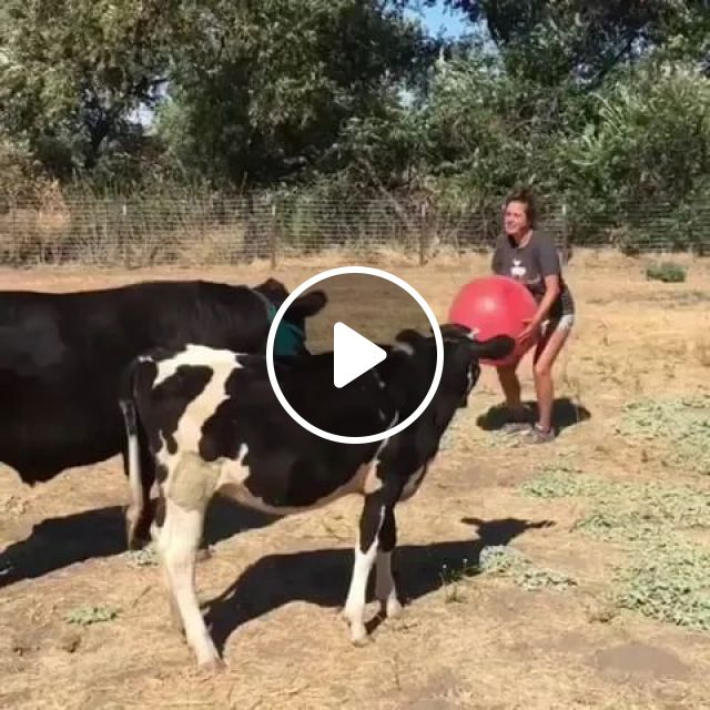 In Farm, Cows Like To Play Rubber Balls With Girl - Video & GIFs   farms, cows, very like, playing rubber balls, girls