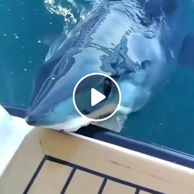 Shark on the water bite into luxury yacht, shark, water, bite, luxury yacht, nature, sea, ocean, American travel