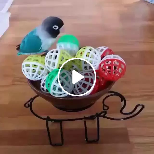 On The Wooden Floor, Colorful Parrot Enjoyed Plastic Balls - Video & GIFs | wood, multicolored parrot, delightful parrot, plastic balls
