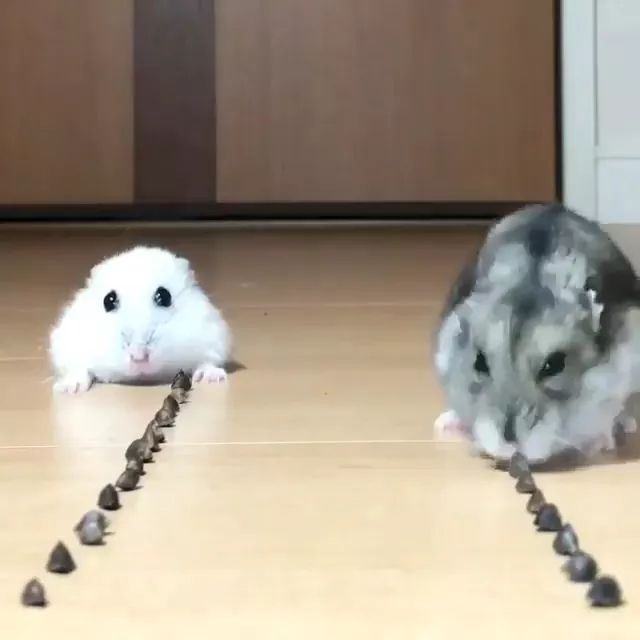 Two mice eat food together