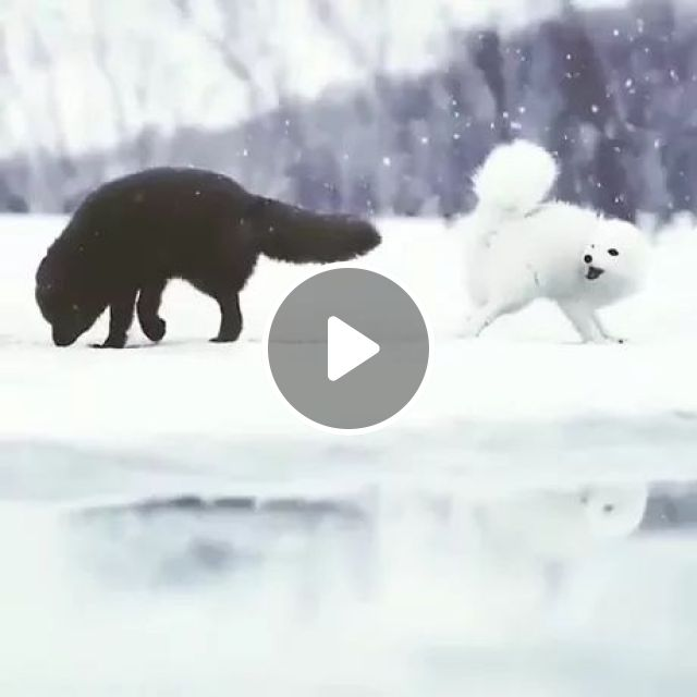Two Foxes Are Playing In Snow - Video & GIFs | foxe, playing, snow, winter, adorable, nature