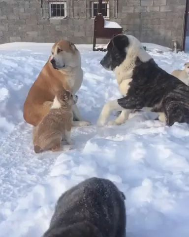 family of dogs playing on snow is very lovely - Video & GIFs | family, dogs, puppies, adorable, play, on snow, very lovely, winter