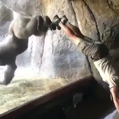 Zoo staff and gorilla play together