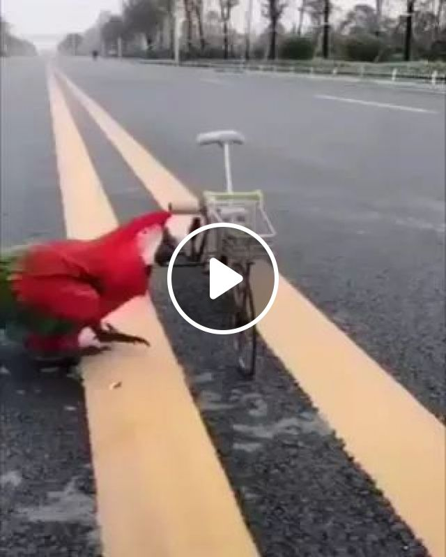 Can A Parrot Ride A Bike Of Course! - Video & GIFs | parrot, can ride a bike, pet, take care of pets, animals