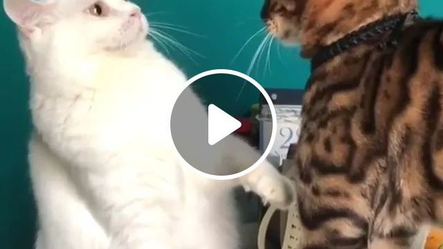 When Your Boo Acts Up, But Starts Acting Scared As Soon As You Show A Little Dominance - Video & GIFs   cat, cat breed, living room, living room furniture