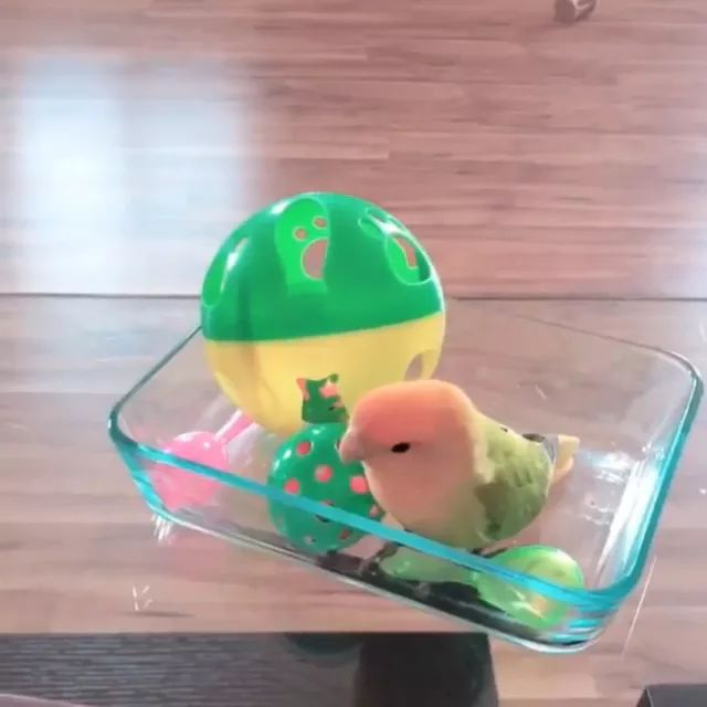 Parrot plays with colorful toys