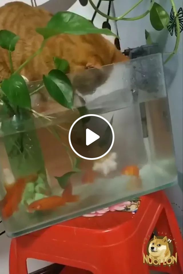 Cats Like To Play With Ornamental Fish In Aquariums - Video & GIFs | Cats, adorable, pets, animals, aquariums, fish tanks