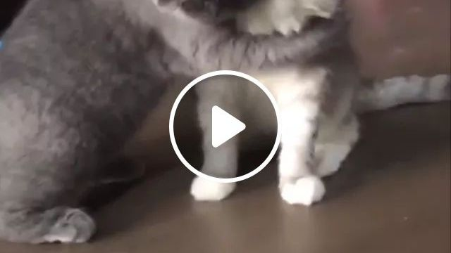 Meow..meow..Please Dont Be Angry With Me,white Cat Is Very Sad - Video & GIFs   cats, adorable, pets, animals, pet care, American Shorthair cat, Tabby cat