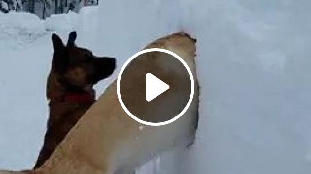 Winter Norway,Two Dogs Find Tennis Ball In Snow - Video & GIFs | dog, adorable, looking, tennis ball, in snow, winter, Norway travel