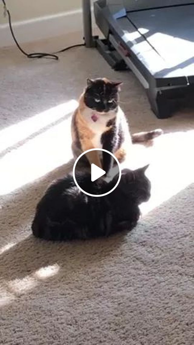 Cat Does Not Want To Have Other Cats Sunba Near Treadmill - Video & GIFs   cats, animals, pets, cat breeds, sunbathing, treadmill, sports equipment